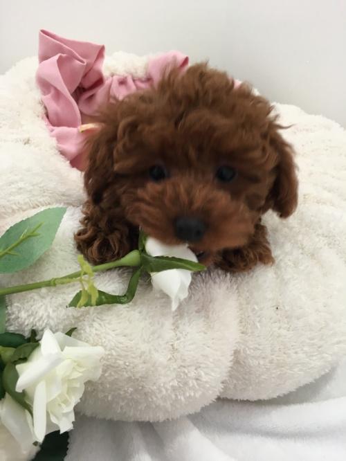 トイプードルの子犬(ID:1272411001)の3枚目の写真/更新日:2018-04-21