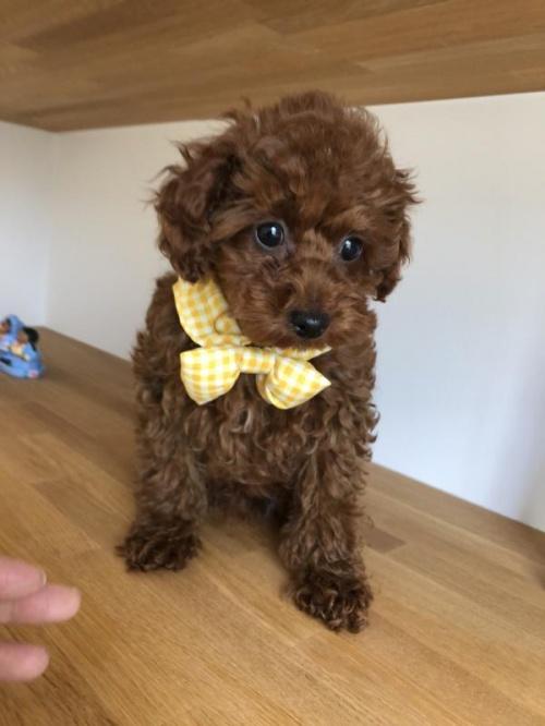 トイプードルの子犬(ID:1272411003)の1枚目の写真/更新日:2018-04-21