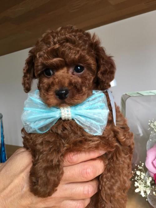トイプードルの子犬(ID:1272411003)の2枚目の写真/更新日:2018-04-13