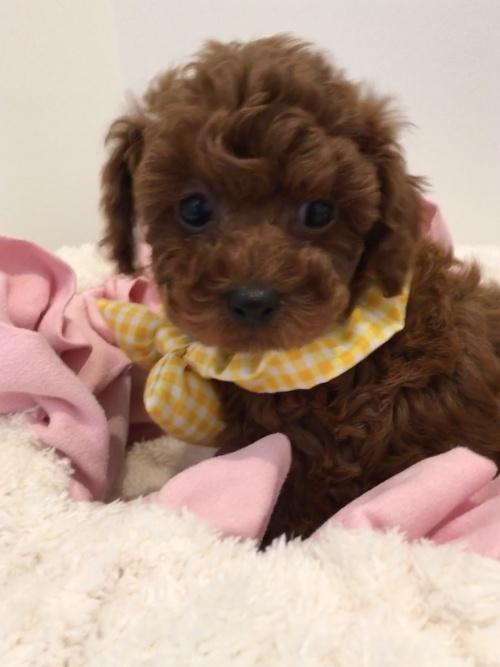 トイプードルの子犬(ID:1272411003)の3枚目の写真/更新日:2018-04-21