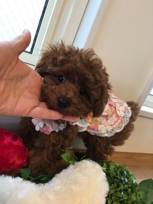 トイプードルの子犬(ID:1272411006)の1枚目の写真/更新日:2018-04-21