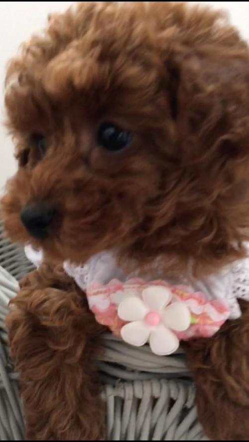 トイプードルの子犬(ID:1272411006)の2枚目の写真/更新日:2018-04-13