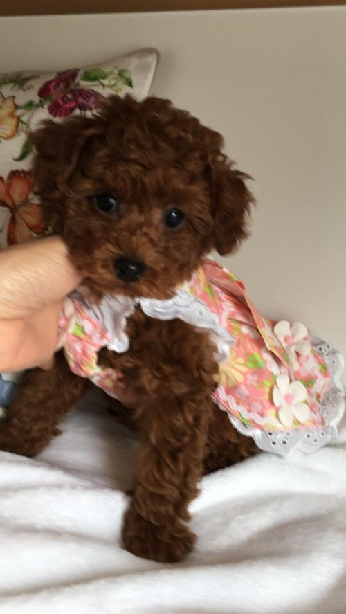 トイプードルの子犬(ID:1272411006)の3枚目の写真/更新日:2018-04-13