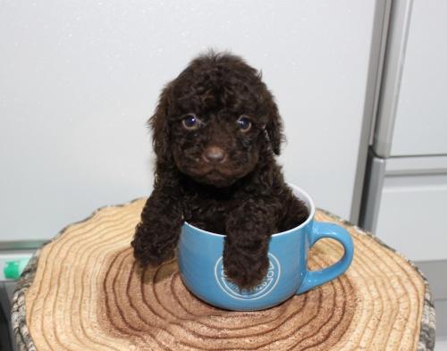 トイプードルの子犬(ID:1272511001)の1枚目の写真/更新日:2018-04-21