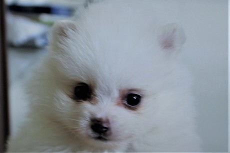 ポメラニアンの子犬(ID:1272511004)の1枚目の写真/更新日:2018-05-23