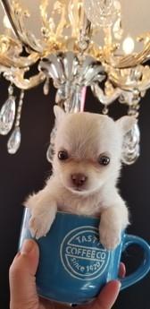 チワワ(ロング)の子犬(ID:1272511006)の1枚目の写真/更新日:2019-01-28