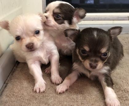 チワワ(ロング)の子犬(ID:1272511006)の2枚目の写真/更新日:2019-01-28
