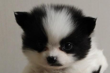 ポメラニアンの子犬(ID:1272511010)の1枚目の写真/更新日:2019-06-24
