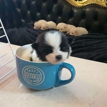 ポメラニアンの子犬(ID:1272511010)の2枚目の写真/更新日:2019-06-24