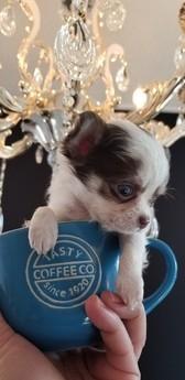 チワワ(ロング)の子犬(ID:1272511016)の1枚目の写真/更新日:2019-01-28