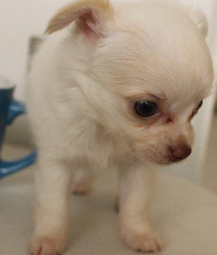 チワワ(ロング)の子犬(ID:1272511019)の1枚目の写真/更新日:2019-10-12