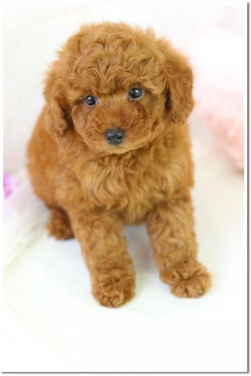 トイプードルの子犬(ID:1272711001)の2枚目の写真/更新日:2018-05-08