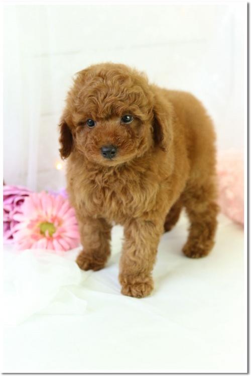 トイプードルの子犬(ID:1272711001)の3枚目の写真/更新日:2018-05-08