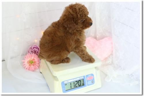 トイプードルの子犬(ID:1272711001)の4枚目の写真/更新日:2018-05-08