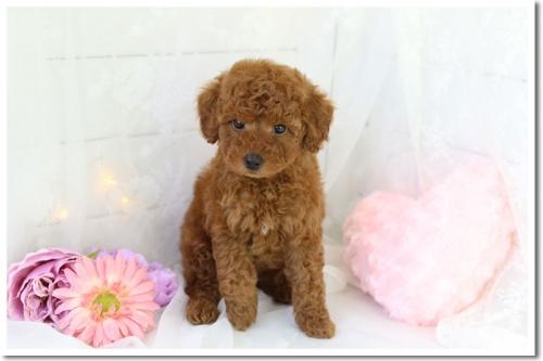 トイプードルの子犬(ID:1272711002)の1枚目の写真/更新日:2018-05-08