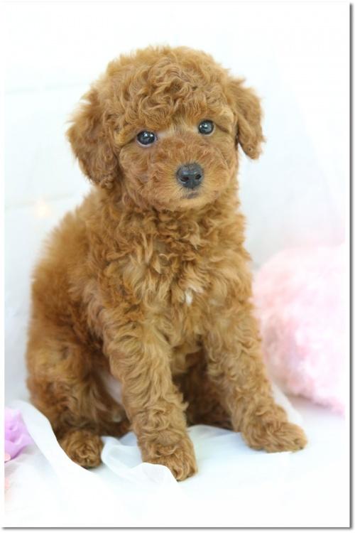 トイプードルの子犬(ID:1272711002)の2枚目の写真/更新日:2018-05-08