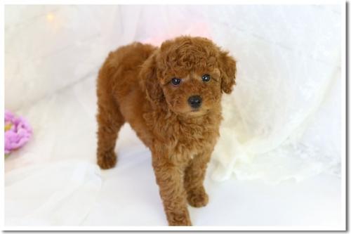 トイプードルの子犬(ID:1272711002)の3枚目の写真/更新日:2018-05-08