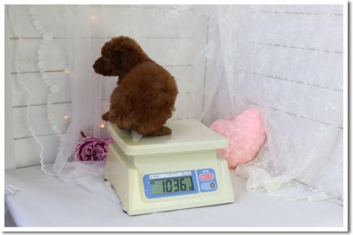 トイプードルの子犬(ID:1272711002)の4枚目の写真/更新日:2018-05-08