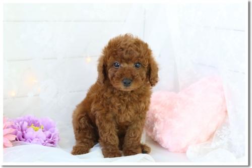 トイプードルの子犬(ID:1272711003)の1枚目の写真/更新日:2018-05-08