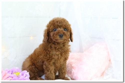 トイプードルの子犬(ID:1272711003)の2枚目の写真/更新日:2018-05-08