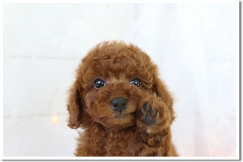 トイプードルの子犬(ID:1272711003)の3枚目の写真/更新日:2018-05-08