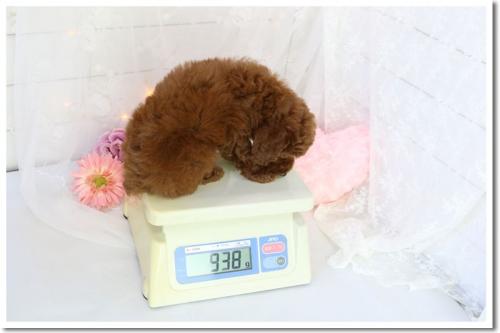 トイプードルの子犬(ID:1272711003)の4枚目の写真/更新日:2018-05-08