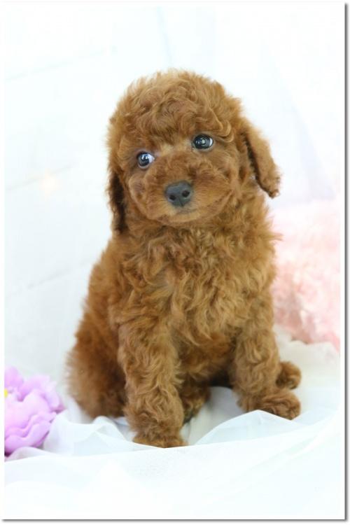 トイプードルの子犬(ID:1272711003)の5枚目の写真/更新日:2018-05-08