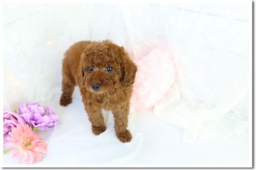 トイプードルの子犬(ID:1272711003)の6枚目の写真/更新日:2018-05-08