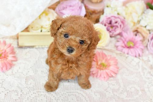 トイプードルの子犬(ID:1272711010)の1枚目の写真/更新日:2020-04-22
