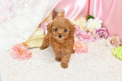 トイプードルの子犬(ID:1272711010)の2枚目の写真/更新日:2020-04-22