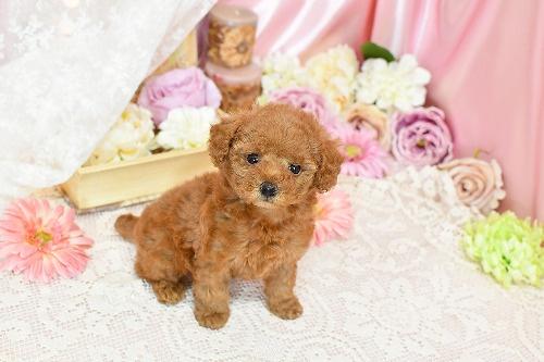 トイプードルの子犬(ID:1272711010)の3枚目の写真/更新日:2020-04-22