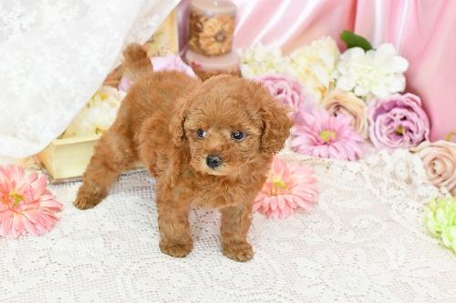 トイプードルの子犬(ID:1272711010)の4枚目の写真/更新日:2020-04-22