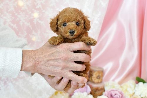 トイプードルの子犬(ID:1272711010)の5枚目の写真/更新日:2020-04-22