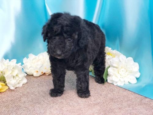 トイプードルの子犬(ID:1272711011)の1枚目の写真/更新日:2020-05-21