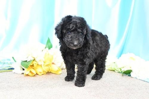 トイプードルの子犬(ID:1272711011)の2枚目の写真/更新日:2020-05-21