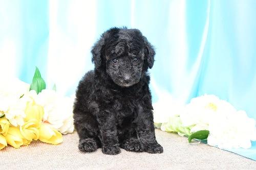 トイプードルの子犬(ID:1272711011)の3枚目の写真/更新日:2020-05-21