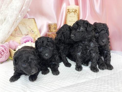 トイプードルの子犬(ID:1272711011)の4枚目の写真/更新日:2020-05-11
