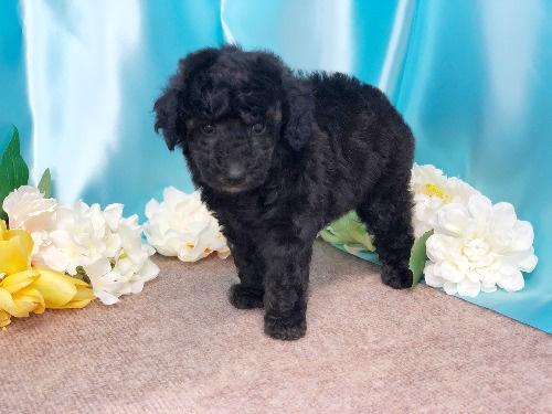 トイプードルの子犬(ID:1272711011)の5枚目の写真/更新日:2020-05-21