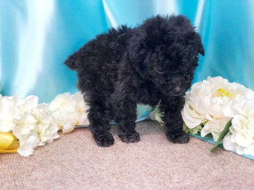 トイプードルの子犬(ID:1272711012)の1枚目の写真/更新日:2020-05-21