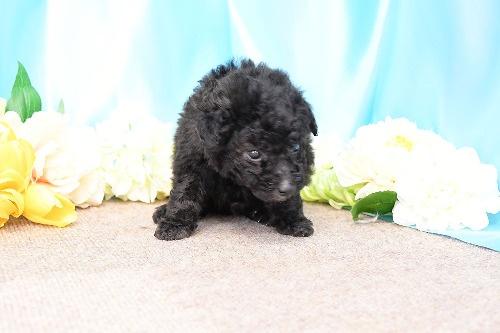 トイプードルの子犬(ID:1272711012)の2枚目の写真/更新日:2020-05-21