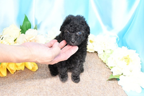 トイプードルの子犬(ID:1272711012)の3枚目の写真/更新日:2020-05-21