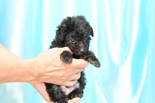 トイプードルの子犬(ID:1272711012)の5枚目の写真/更新日:2020-05-21