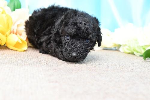 トイプードルの子犬(ID:1272711013)の1枚目の写真/更新日:2020-05-21
