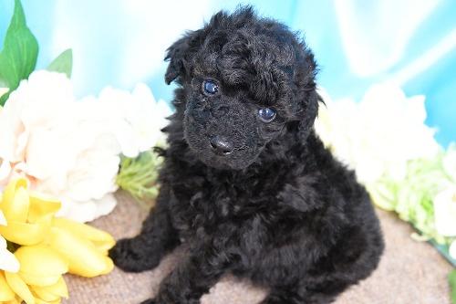 トイプードルの子犬(ID:1272711013)の2枚目の写真/更新日:2020-05-21