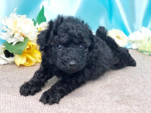 トイプードルの子犬(ID:1272711013)の3枚目の写真/更新日:2020-05-21