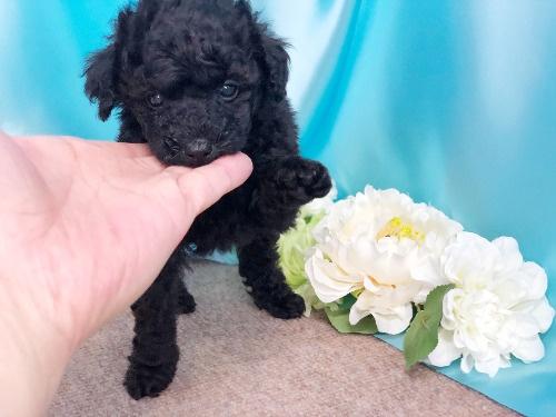 トイプードルの子犬(ID:1272711013)の5枚目の写真/更新日:2020-05-21