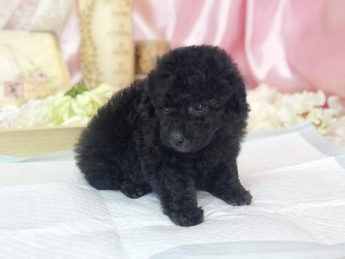 トイプードルの子犬(ID:1272711014)の1枚目の写真/更新日:2020-05-21