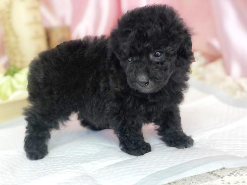 トイプードルの子犬(ID:1272711014)の2枚目の写真/更新日:2020-05-21