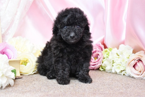 トイプードルの子犬(ID:1272711014)の5枚目の写真/更新日:2020-05-21