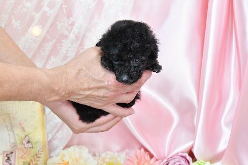 トイプードルの子犬(ID:1272711014)の6枚目の写真/更新日:2020-05-21